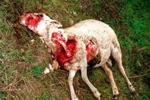 Ataque de lobo a oveja reciente en las montañas cercanas de CyL