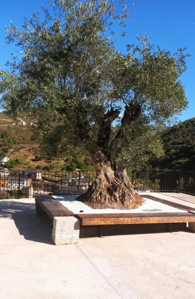 El olivo con banco incorporado en la base