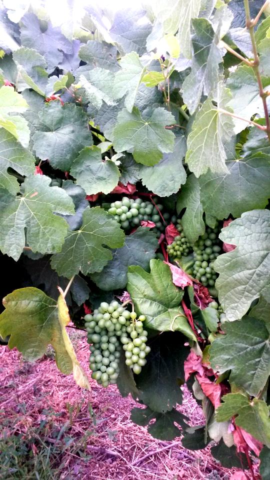 Uvas en un viñedo de Valdeorras