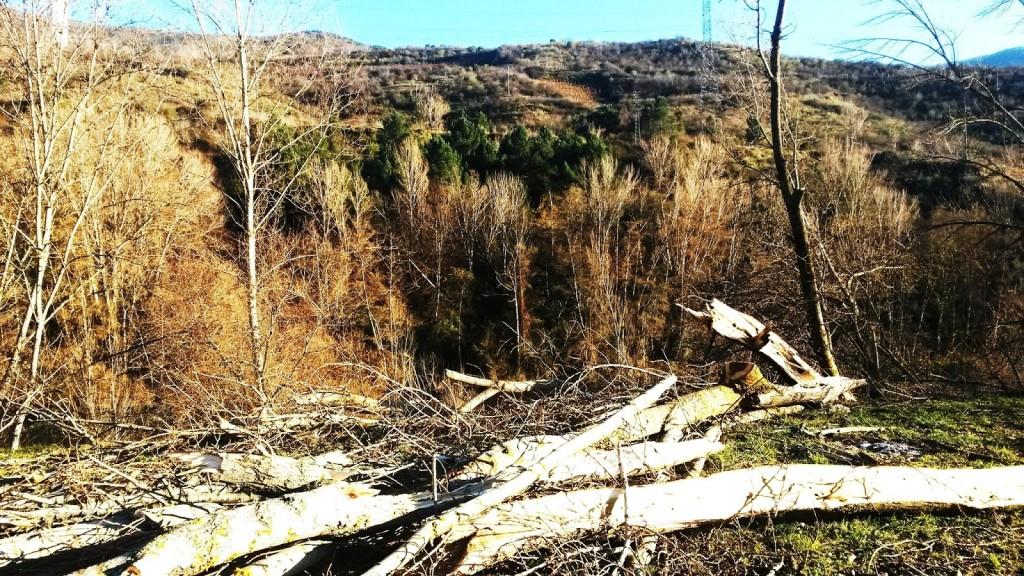 Troncos de los árboles talados esparcidos por el suelo en el entorno del río Sil