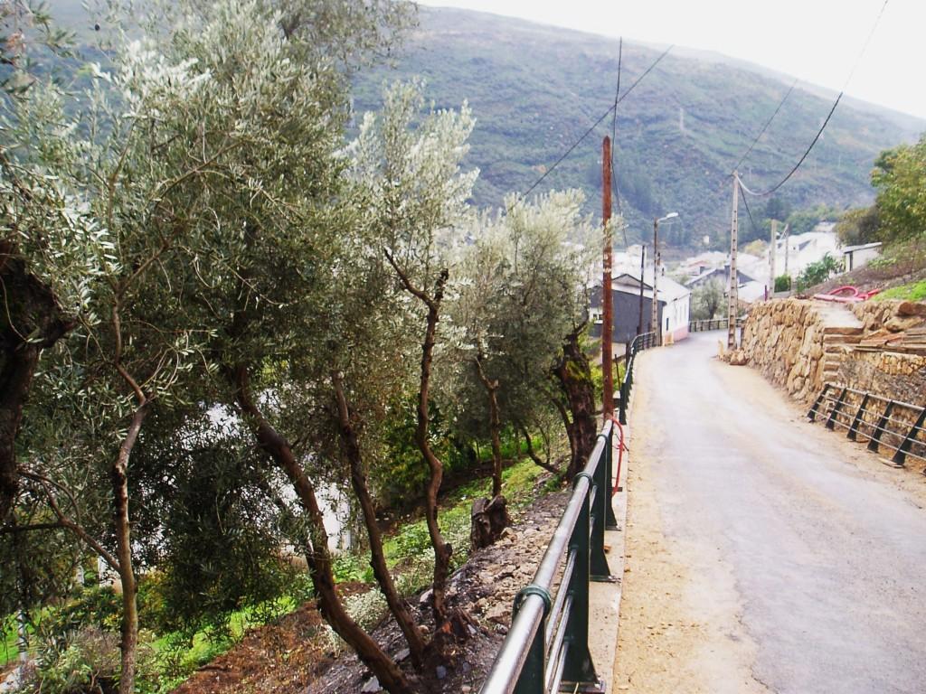 Los olivos a un lado de la zona en obras