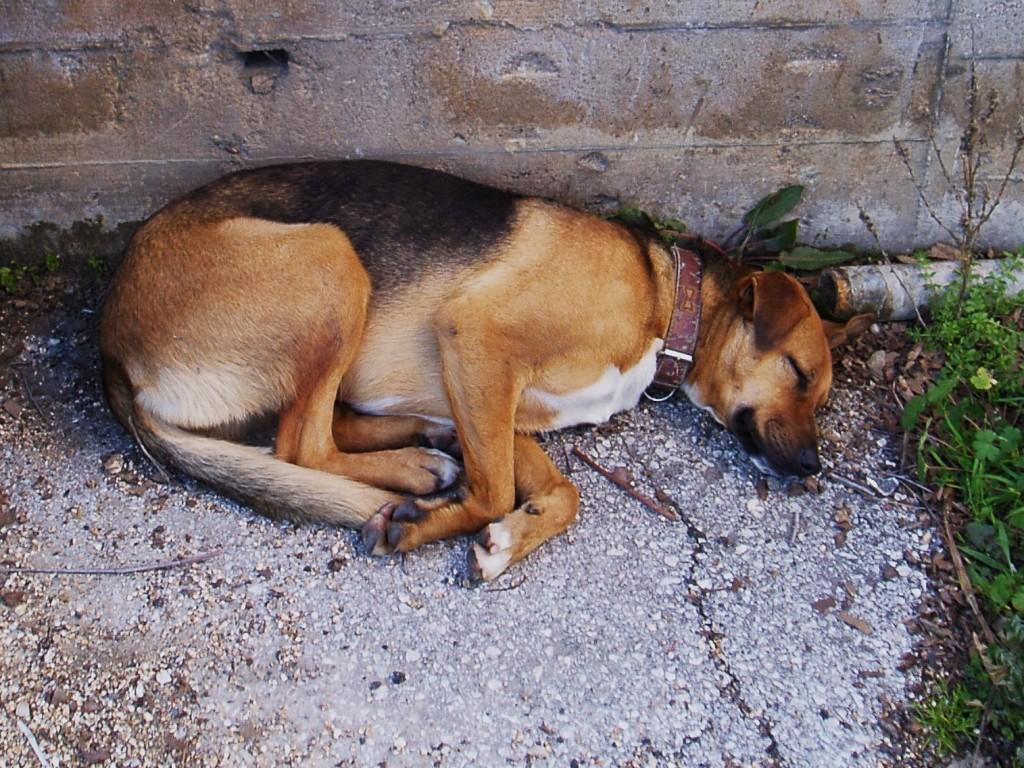 El perro echa una cabezadita por el cansancio