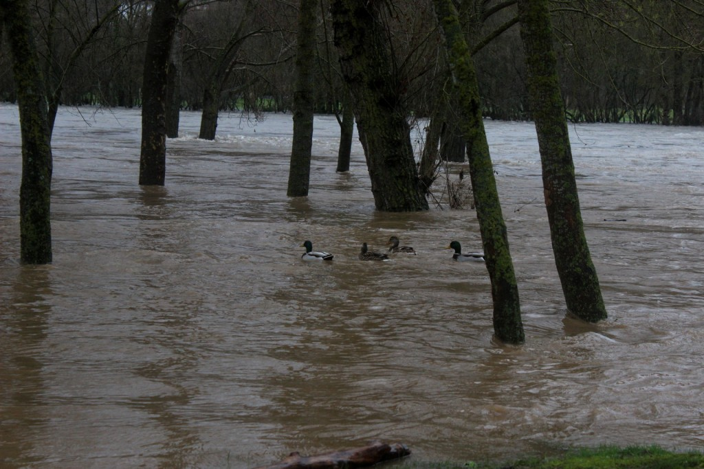 Los patos campan por la zona de las piscinas municipales