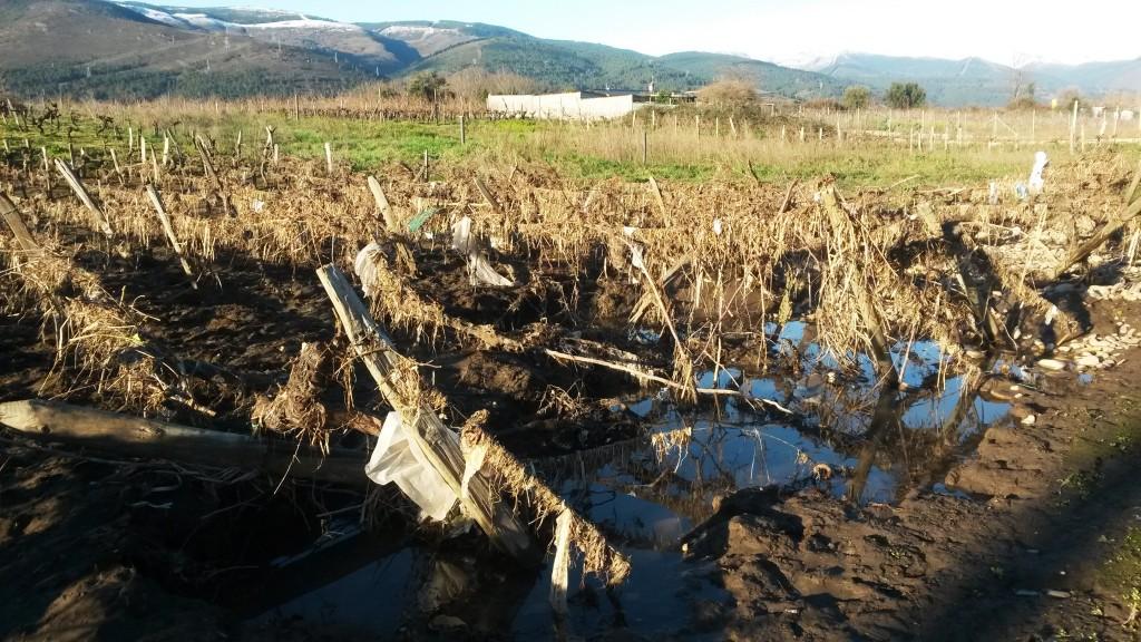 Viñedo lleno de restos de la crecida del río
