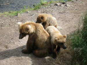 1280px-Katmai_Sow_and_Cubs