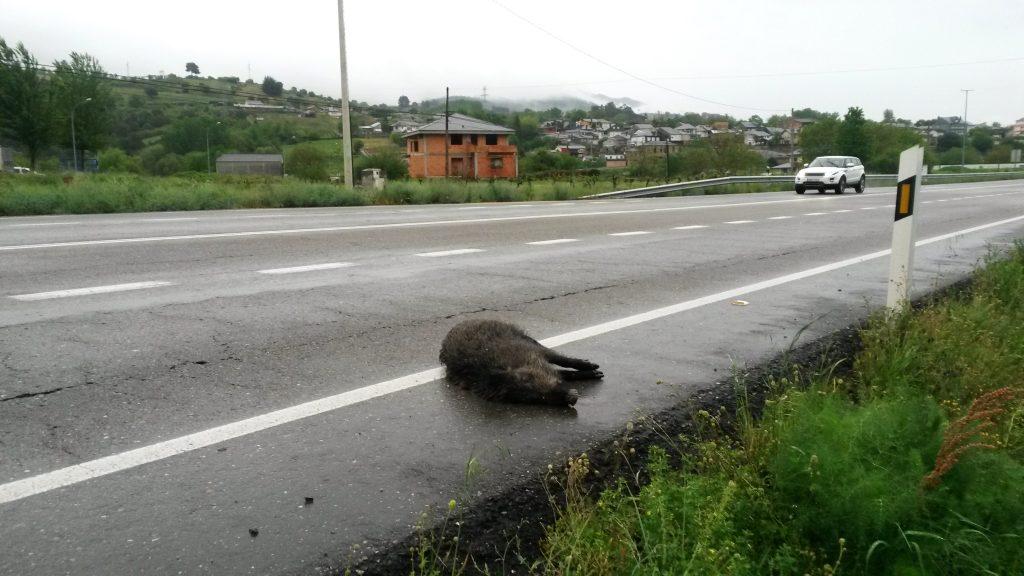 A primera hora de la mañana ,apareció el jabalí muerto
