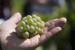 Uvas Godello, la 'uva recuperada'