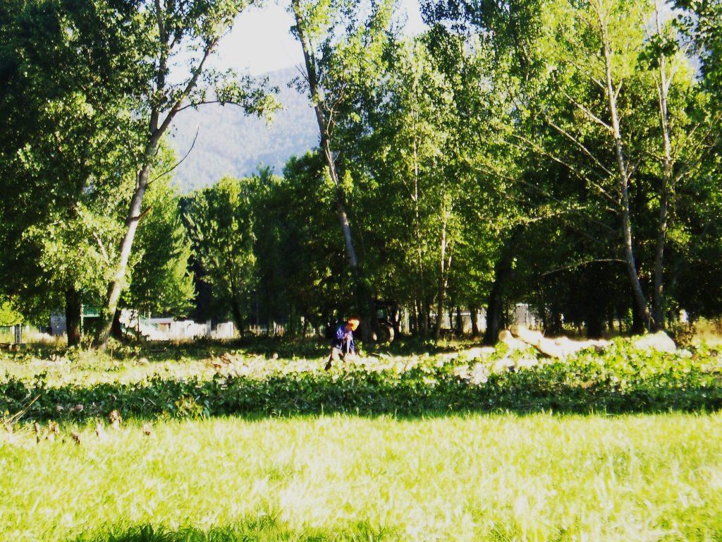 Árbol recién talado en la chopera de O Aguillón