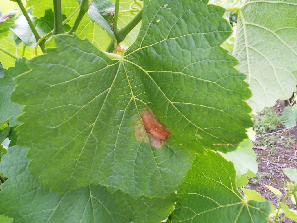 Mildiu en las hojas
