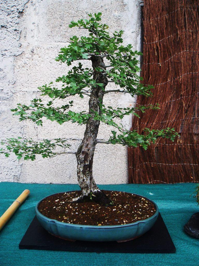 Otro bonsái