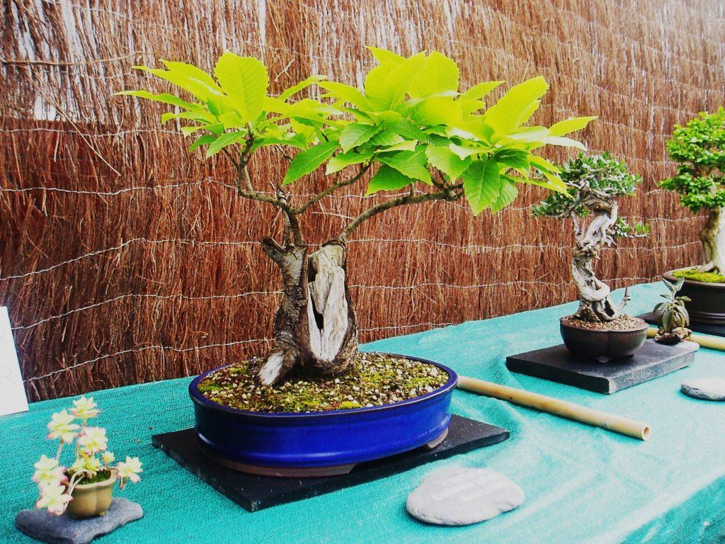 Pieza de la colección de bonsáis de los aficionados de A Rúa