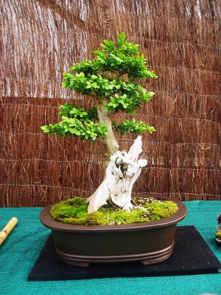 Un bonsái de los dos aficionados