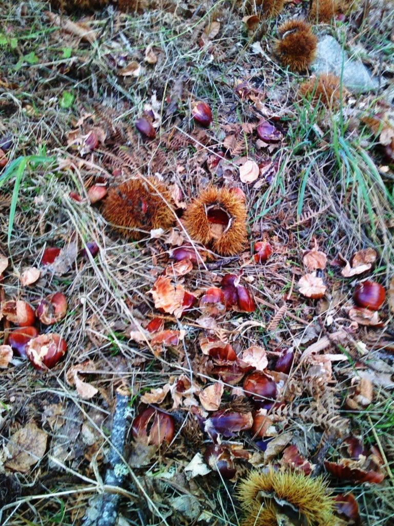 Restos de castañas que estragou o xabarín