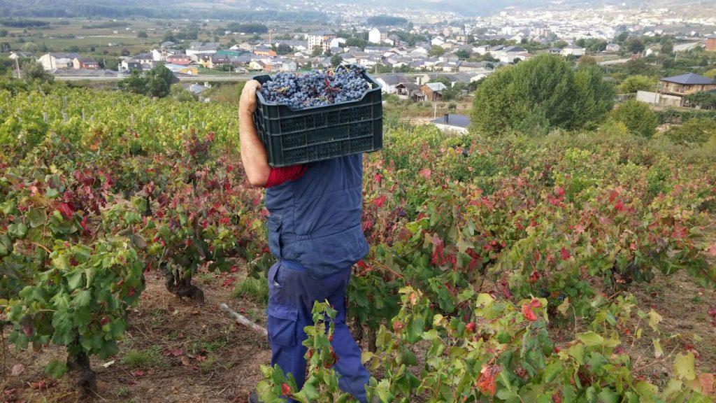 Vendimia en los viñedos del bodeguero José Luis Aristegui de A Rúa